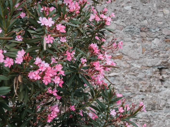 colla micheri fotografia natura fiori oleandro