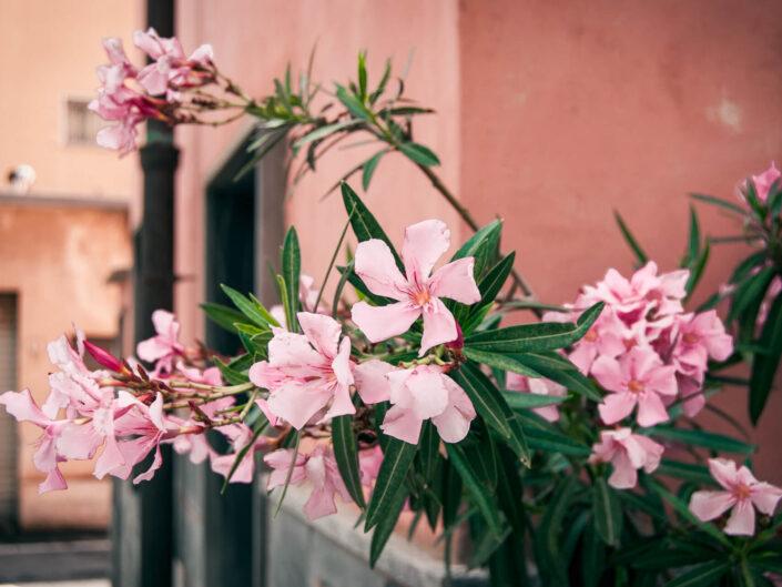 laigueglia fotografia oleandro fiori