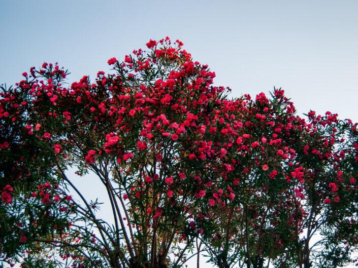 fotografia pianta oleandro rosso