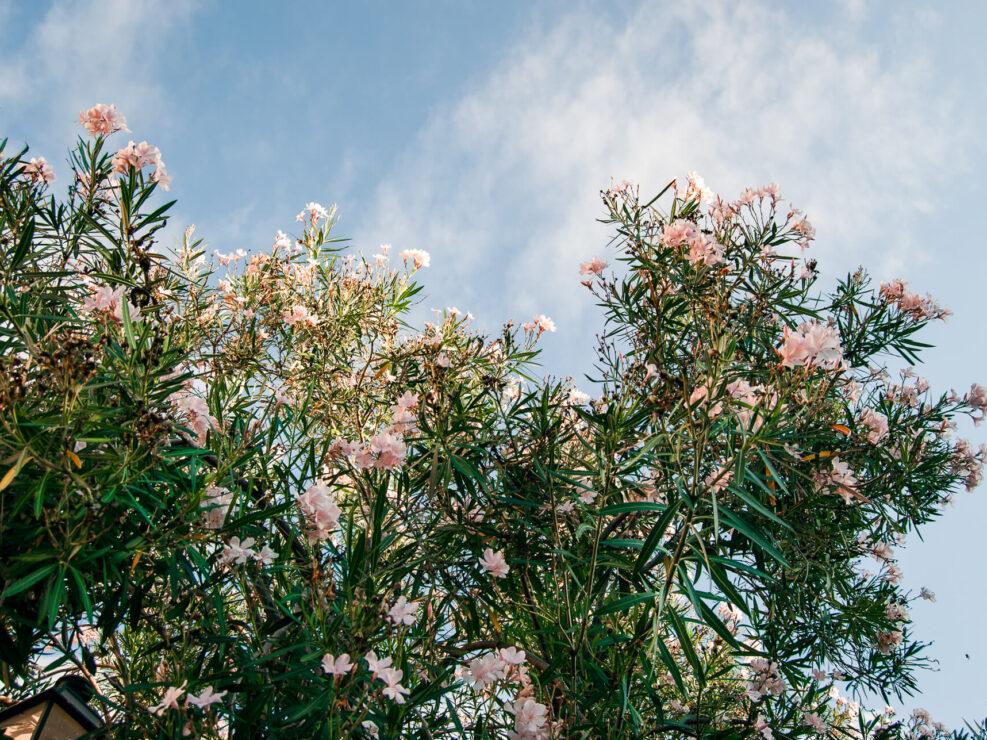 fotografia fiori oleandro bianchi
