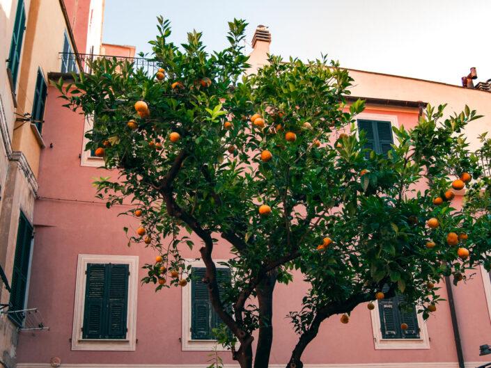 laigueglia foto budello pianta aranci